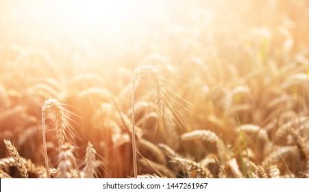 Wheat field. Golden wheat field at sunny day. Beautiful nature landscape.