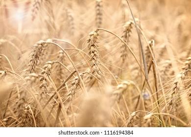 Wheat field, field of grain with lens flare-sun flare, grain field in the sun, wheat field bathed in sun