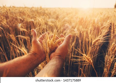 Wheat field. Hands holding ears of golden wheat close up. Beautiful Nature Sunset Landscape. Rural Scenery under Shining Sunlight. Background of ripening ears of wheat field. Rich harvest Concept.