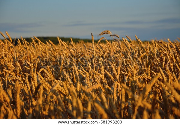 Wheat field, harvest concept, agricultural background