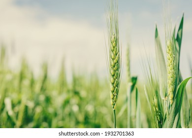 Wheat field image. View on fresh ears of young green wheat and on nature in spring summer field close-up. With free space for text on a soft blurry sky background