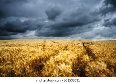 Wheat field intercut with tractor trails and a stormy background in Western Germany.