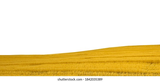 Wheat field isolated on white background