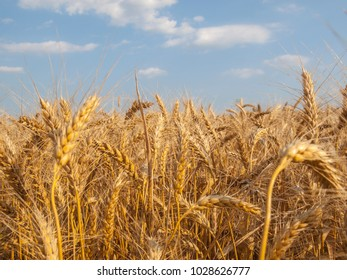 Wheat field lanscape on a sunny day