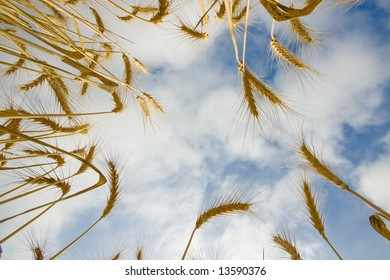 wheat field looked at from below
