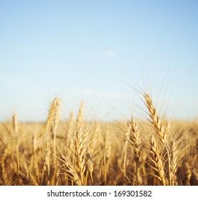 Wheat field macro