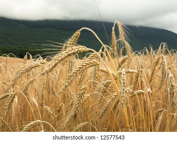 Wheat field with the mountain in background