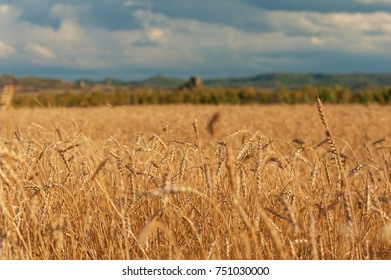 wheat field in mountains on sunset