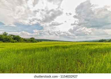 Wheat field near the Dniester river. Village of Repuzhincy Zastavny district, Chernivtsi region.