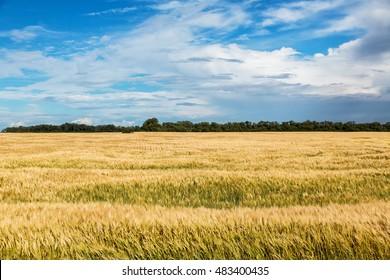 Wheat field in North Dakota on a summer day.