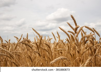 Wheat field on the background cloudy sky