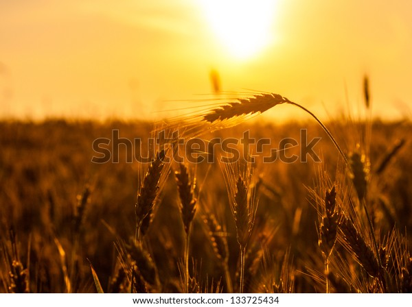 wheat field on the background of sunset