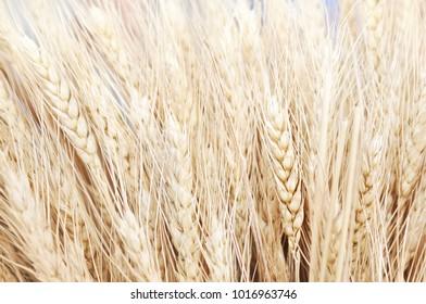 Wheat field on blue sky, summer farm harvest background, selective focus, shallow DOF, toned