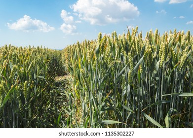 Wheat field on a nice summer day, agricultural concept