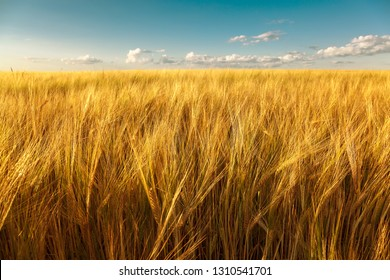 Wheat field on a sunny summer day.