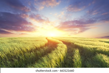 Wheat field on a sunset