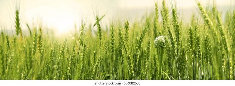 Wheat field panoramic
