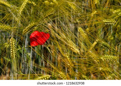 Wheat field with papaver flowers at the late summer. Macro photography of nature.