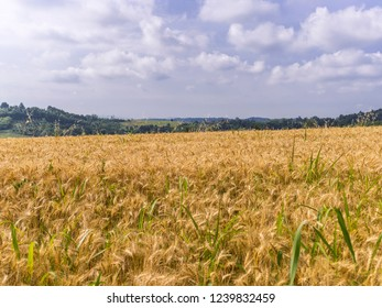 Wheat field in Piedmont (North Western Italy) in July.