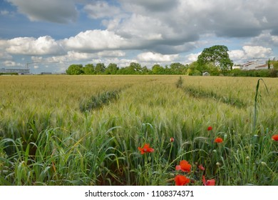 Wheat field, with poppies blossoms, under a cloudy sky