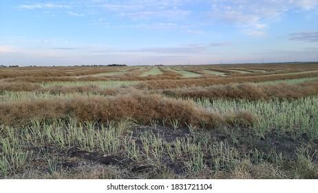 A wheat field ready for bailing near Calgary, Alberta