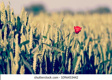 Wheat field with red poppy flower in spring