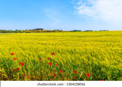 Wheat field and red poppy flowers near Moritzdorf village in countryside spring landscape, Ruegen island, Baltic Sea, Germany