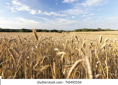 wheat field with ripe cereals before harvest, illuminated landscape with sky