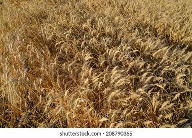 Wheat field with ripe ears