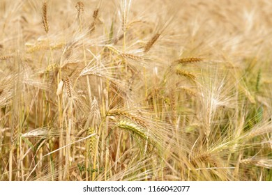 Wheat field with ripe spikes in sunny day close up