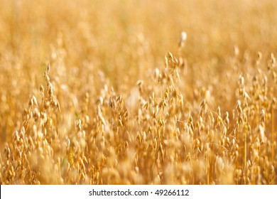 Wheat field, ripened grain field, grain harvest, oat field, copy space