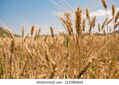 Wheat field in the royal bardenas de navarra, spain