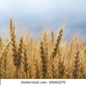 Wheat field in rural Canandaigua, NY