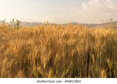 Wheat field in a rural farmlands of Ethiopia lit by the golden lights of a setting sun