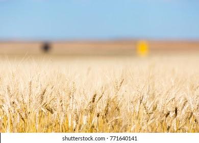Wheat field in Saskatchewan, Canada on a sunny day with blue sky