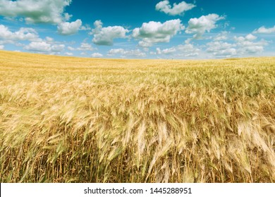 Wheat field. Scenic landscape of golden ripe wheat crop under blue sky. Rich harvest. Agriculture