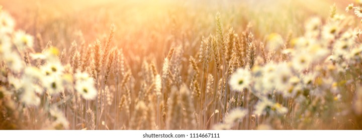 Wheat field, selective focus on wheat, out of focus wild chamomile, beautiful landscape in late afternoon, in dusk