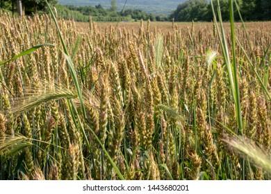 wheat field - Serbia - Silver lake resort near Veliko Gradiste town