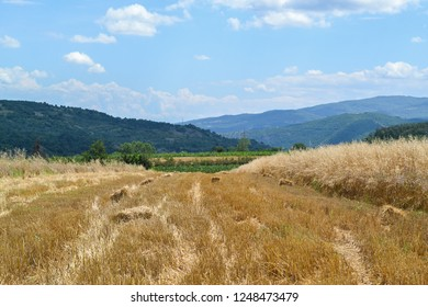 Wheat field in Serbian countryside