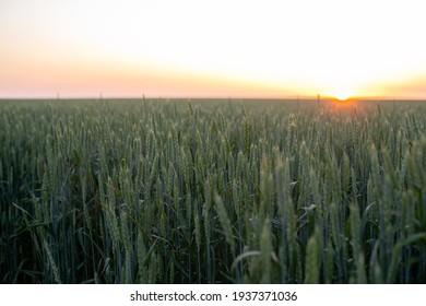 wheat field in the setting sun