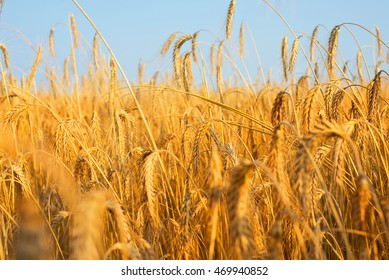 Wheat field and the sky. Harvest time.