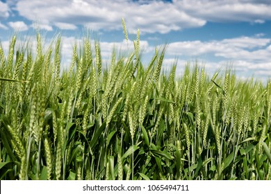 wheat field in spring, beautiful landscape, green grass and blue sky with clouds