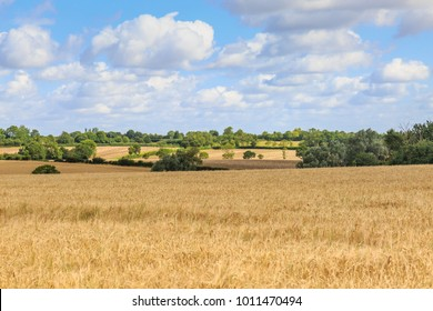 Wheat field in Suffolk on a summers day