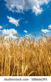 Wheat Field with summer blue sky