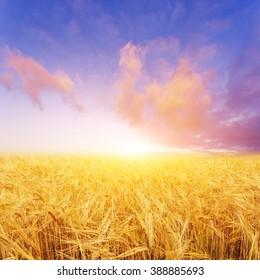 wheat field in summer day in new zealand