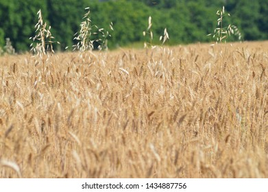 wheat field in summer season