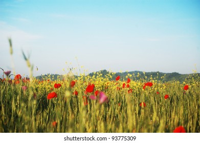 Wheat field in summer time, with uncultivated red poppies, yellow canola and purple flowers.