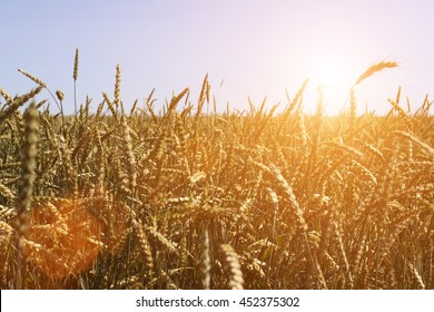 Wheat field with the sun