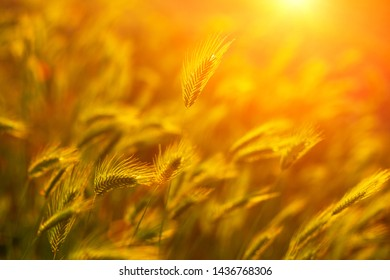 wheat field in the sun at sunset.