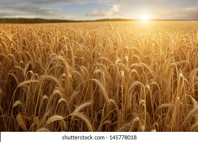 A wheat field with the sun touching the horizon in a blue sky with clouds